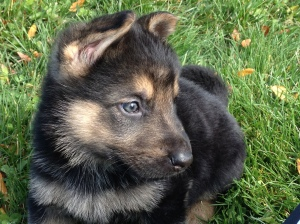 Black and tan German shepherd puppy sitting on green grass.