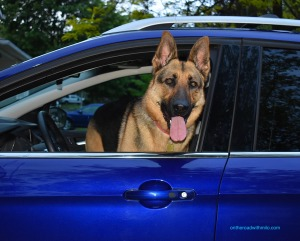 German Shepherd Dog with its tongue hanging out standing in the driver's seat of a blue SUV.