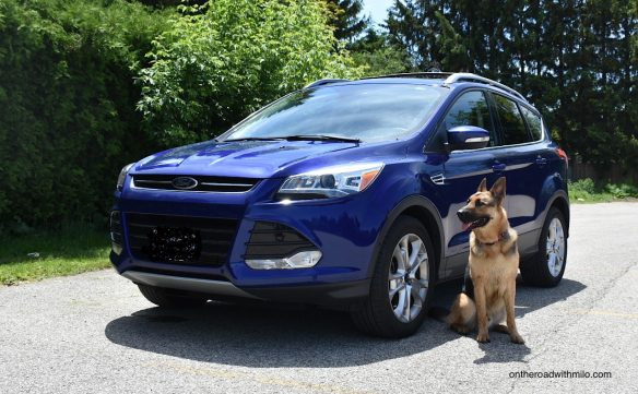 a large black and tan German shepherd sitting next to a blue SUV