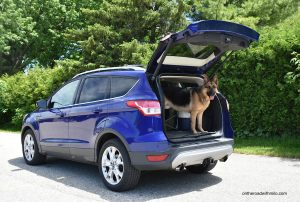 German shepherd standing in the back of a blue SUV with its rear hatch open.