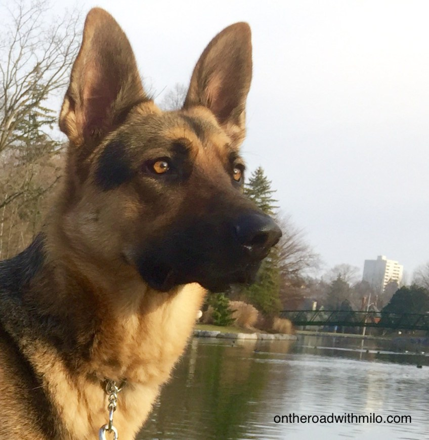 german shepherd with an alert expression in front of a pond