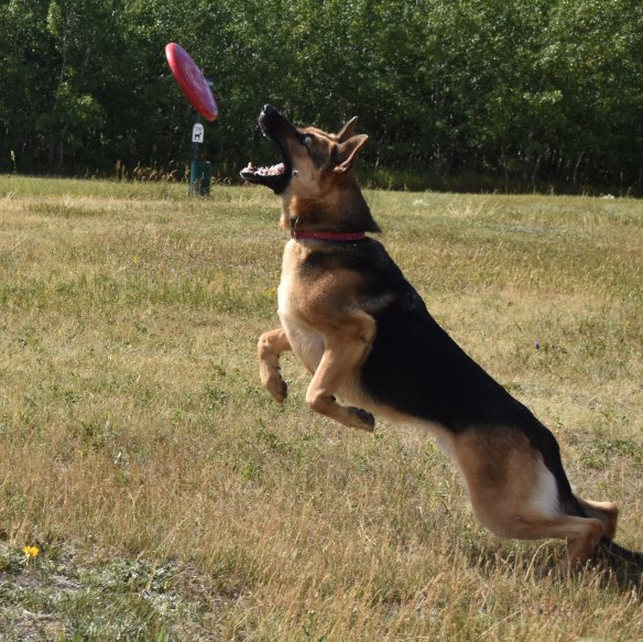German shepherd leaping to catch a red frisbee