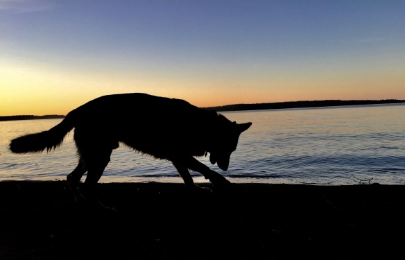 silhouette of a German Shepherd Dog against sunset on a lake
