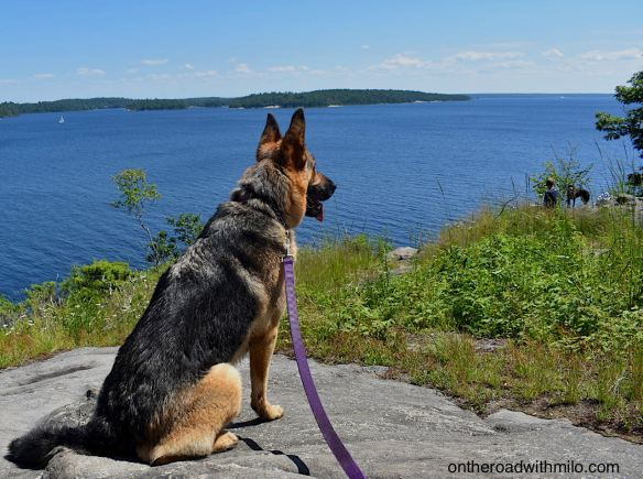 German shepherd sitting on a rock looking out over a deep blue bay