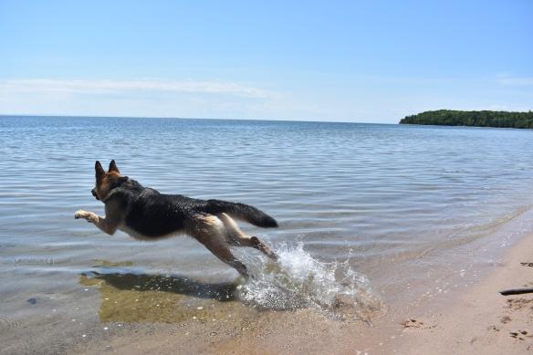 A German shepherd splashing though blue water.