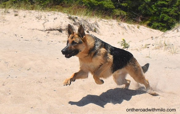 a German shepherd leaping forward on a white sand beach