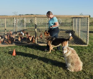 German shepherd dog heeling beside a woman in blue jeans between a coop full of chickens and another dog