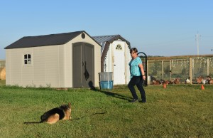 German shepherd dog, lying on its tummy on the grass in front of a woman wearing blue jeans and a coop full of chickens