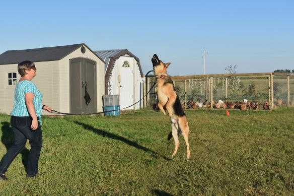 German shepherd dog jumping in the air to catch a treat. He is almost vertical and is taller than the jeans wearing woman holding his leash