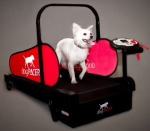 small white dog on a black treadmill with red rails.