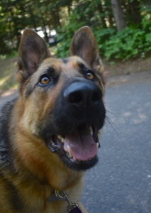 headshot of a black and tan German shepherd with bright amber eyes and a big smile