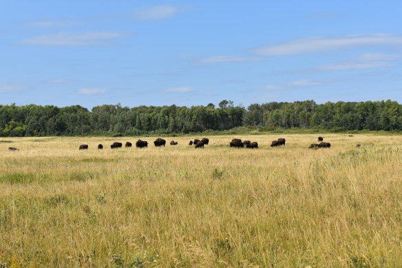 About two dozen Bison are laying and standing on a field of yellow grass. There is a blue sky and a line of green trees on the horizon.