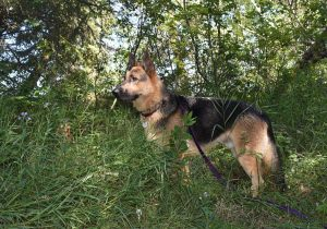 black and tan German shepherd dog standing in profile against a green forest
