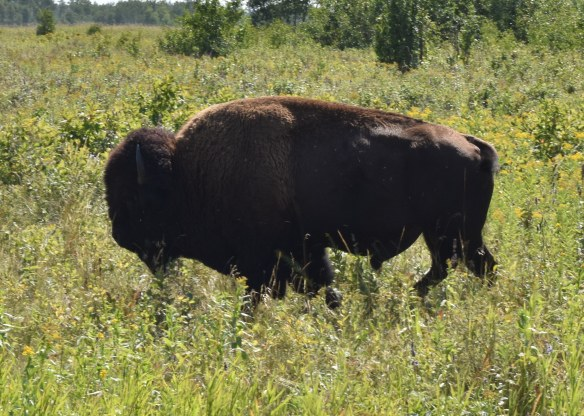 Dark brown Bison standing in profile against a background of green grass and shrubs