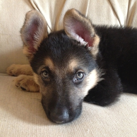 Black and tan german shepherd puppy lying on a cream colored sofa
