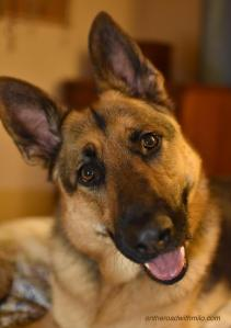 black and tan German Shepherd with happy expression on his face