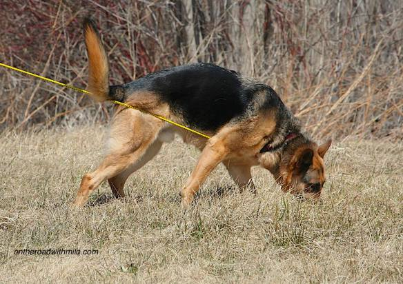 Black and tan German Shepherd sniffing brown grass