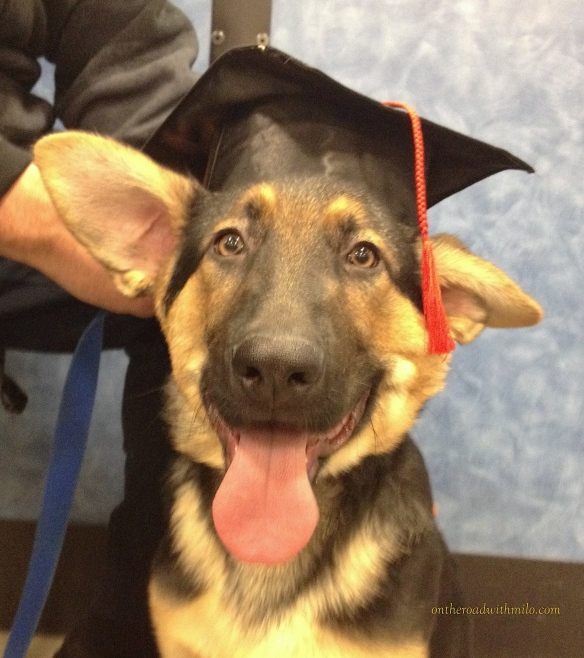 German Shepherd puppy wearing a graduation cap and looking at camera