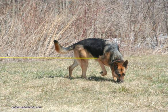 german shepherd dog on a brown lawn walking around a corner with his nose on the ground