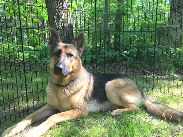 black and tan german shepherd laying in green grass against a backdrop of green forest. There is a fence between the dog and the forest.