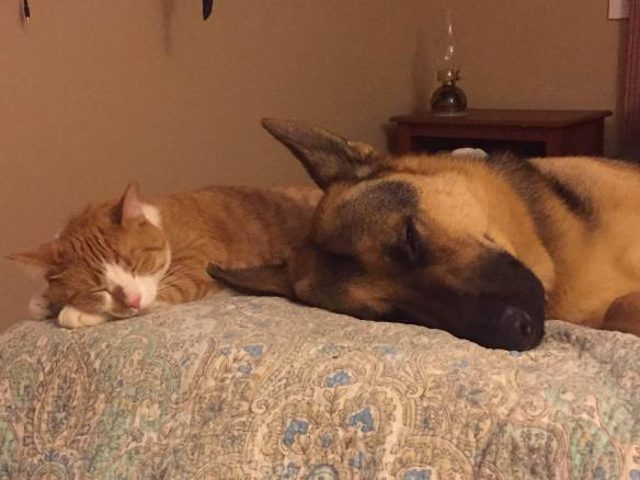 orange and white tabby cat and black and tan German shepherd dog sleeping side by side on a quilt