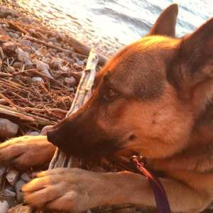 German shepherd resting his nose on a piece of driftwood