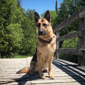 German shepherd dog sitting on a wooden bridge